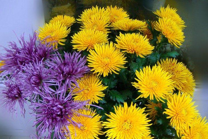 Crisantemos amarillos y púrpuras :: Imágenes y fotos